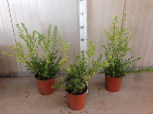 Ilex crenata Green Hedge 3,5L 40/60cm - Jankonijn.nl