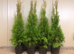 Thuja occidentalis Smaragd 100-120cm
